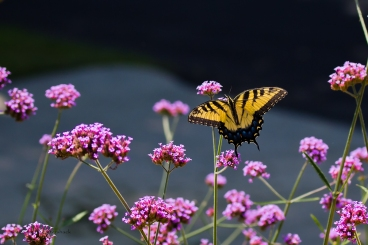 Butterflies - 6 - August 11, 2011-Edit