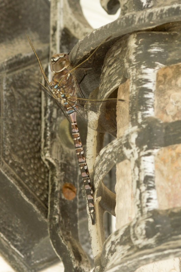 It was a cloudy day and this dragonfly was in a shaded place clinging to a light that is placed under the eaves of a garage. I wanted to keep the ISO as high as possible to capture the details of the dragonfly but of course that required either a wide open lens with very little depth of field (assuming a moderately fast shutter speed was needed) or a slower shutter speed to reduce the width of the aperture and get some additional depth of field. Fortunately, this dragonfly hardly moved at all. Most of my exposures were 1-3 seconds long (at f/8 - f/11) with the ISO varying from 200 to 800. My camera (Canon EOS Rebel T2i with a Canon EF 135mm f/2 L USM) was mounted (obviously) on a tripod. It was triggered by remote control. Given all of that, it is rather incredible how little motion was made by the dragonfly in these photos. It is also remarkable how well the dragonfly blended into its surroundings even though there was nothing natural about them.