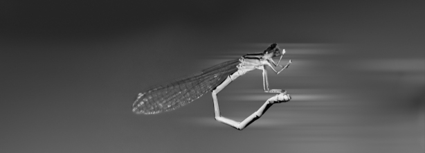 Dragonfly as Easy Rider