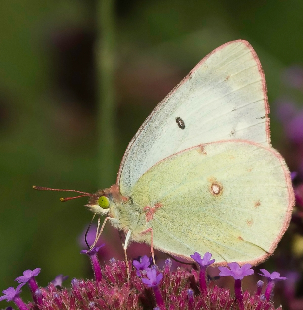 Pink Edged Sulphur Butterfly Sips Nectar