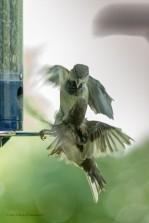 Two sparrows spar