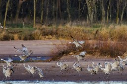 Sandhill cranes landing to join the congregation.