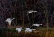 Sandhill Cranes2