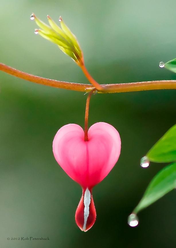 Bleeding Heart II (Morning Dew)