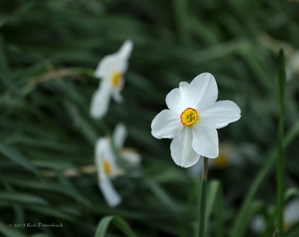 Daffodil Flying Solo