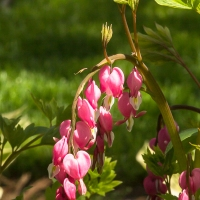 I suspect the cool wet weather kept the bleeding heart plant going much longer than usual.