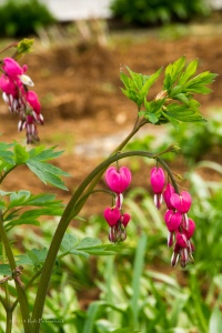 Bleeding Hearts  - May 08, 2013 - 0111 - Depth of Field - 1