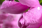 Magnolia with raindrops