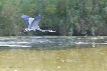 Blur Heron - Warner Park
