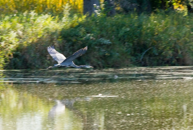 Great Blue Heron - October 02, 2013 - 199