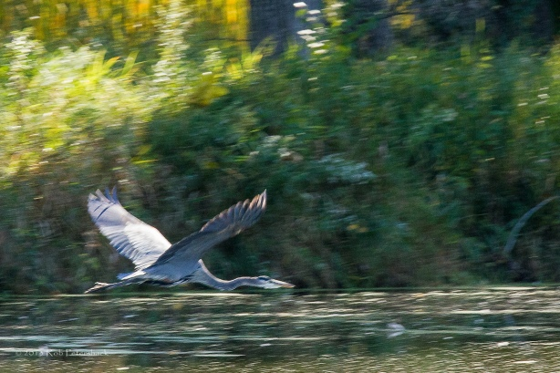 Great Blue Heron - October 02, 2013 - 199(cropped)-2