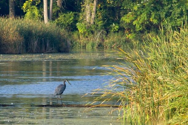 Great Blue Heron - September 25, 2013 - 008