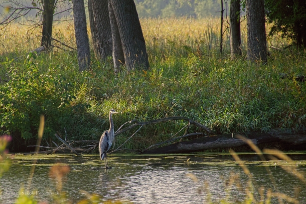Great Blue Heron - September 25, 2013 - 076-Edit-Edit-Edit-Edit