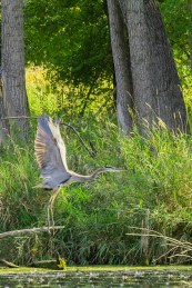 Great Blue Heron Takes Off