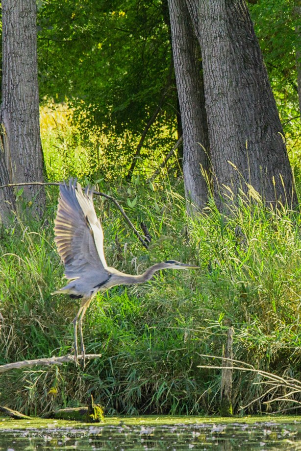 Great Blue Heron - Taking Off