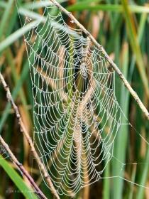 Spider Web 3 - Cherokee Marsh