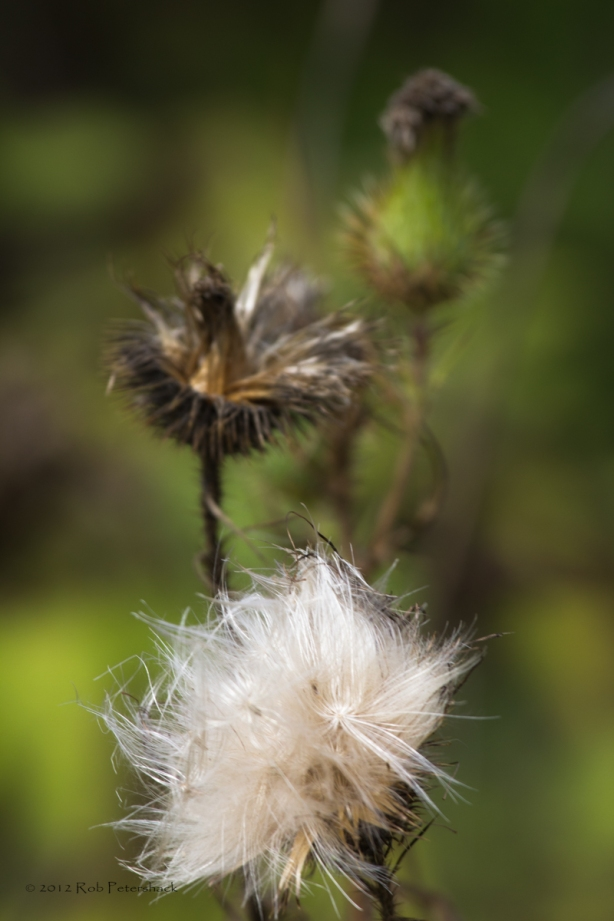 Three staages in the life of a thistle