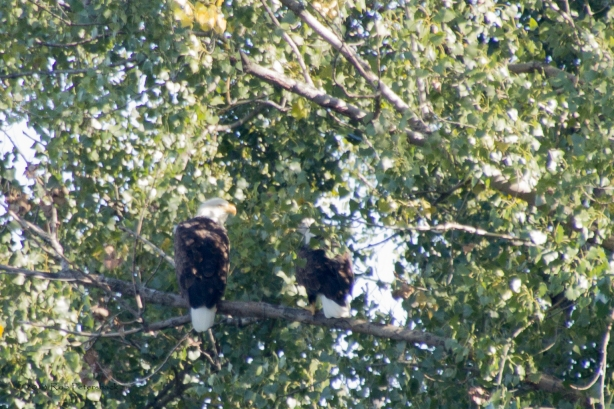Two Bald Eagles in Warner Park II - September 30, 2013 - 104