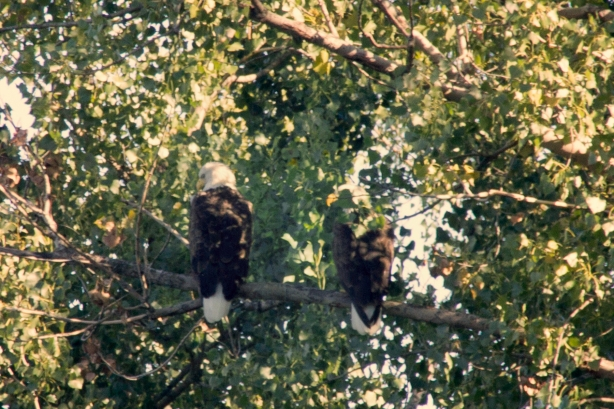Two Bald Eagles in Warner Park - September 30, 2013