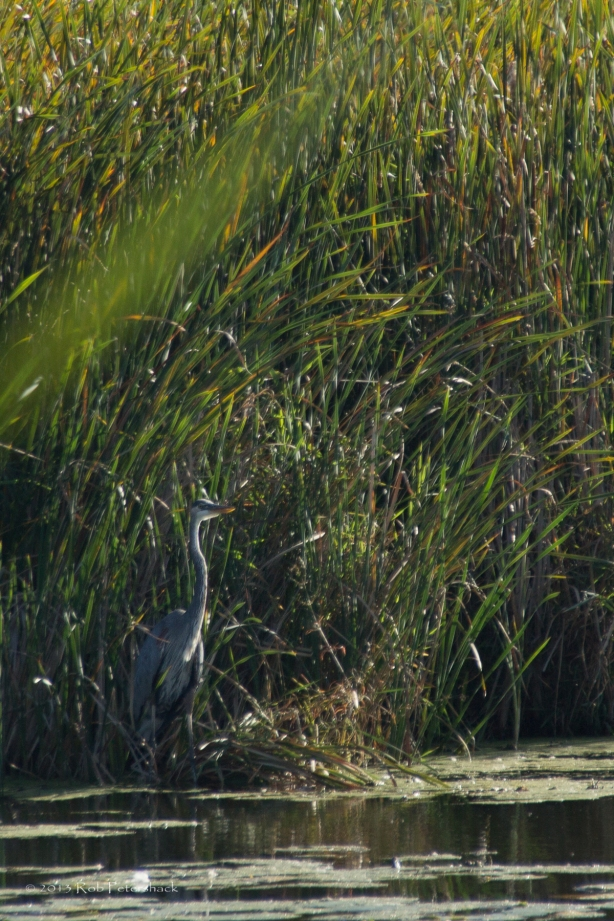 Great Blue Heron - Warner Park 9-1-13