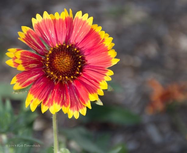 Blooming in Late October in Wisconsin - October 26, 2013 - 190