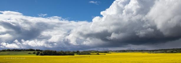 North Dakota Canola Field and Thunderhead