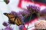 Monarch in Flight3 (4x6)