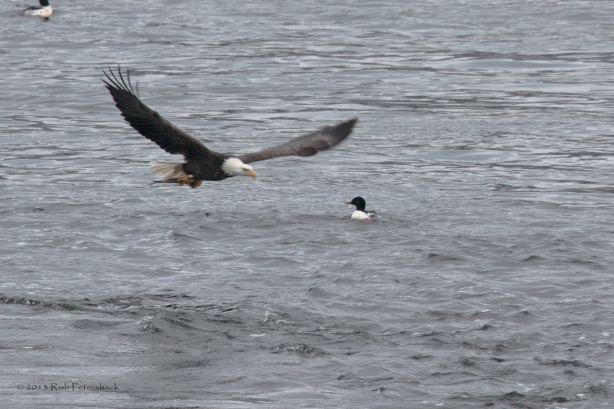 A Bald Eagle, A Fish and a Duck - 1