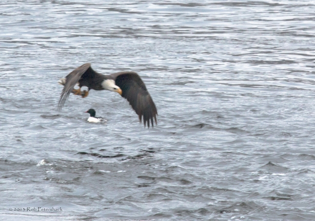 A Bald Eagle, A Fish and a Duck - 2