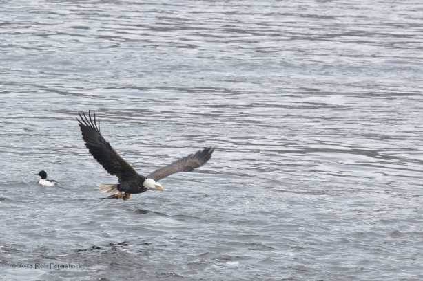 A Bald Eagle, A Fish and a Duck - 3