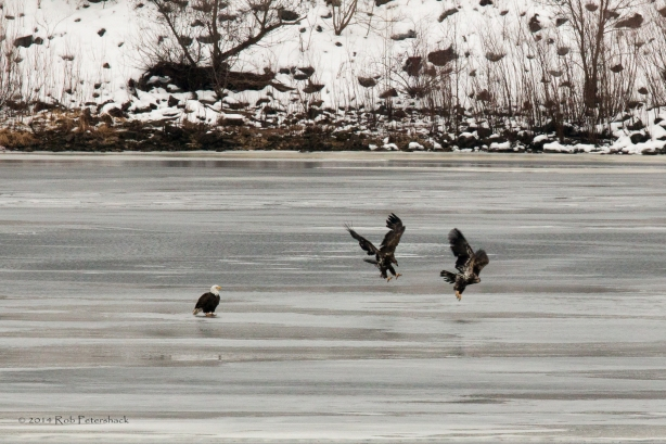Bald Eagle Watch - January 10, 2014 - 655