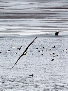 Bald Eagle Watch - January 10, 2014 - 935-Edit