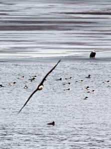 Bald Eagle Watch - January 10, 2014 - 935-Edit