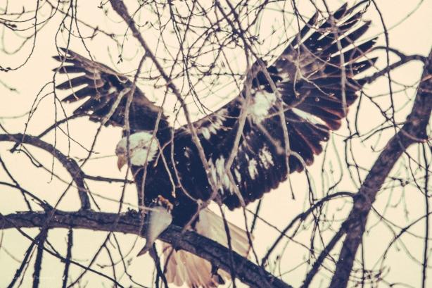 Bald Eagles - February 15, 2014 - 0027-Edit