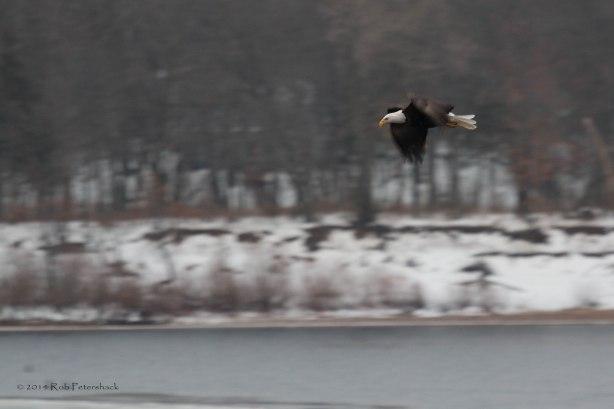 Bald Eagles - January 10, 2014 - 141
