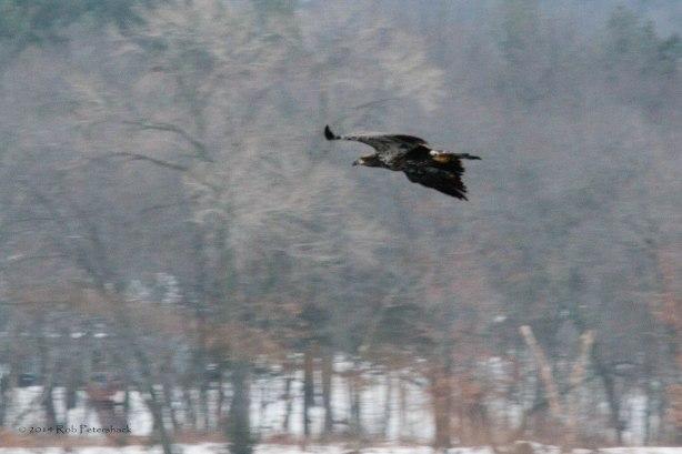 Bald Eagles - January 10, 2014 - 167