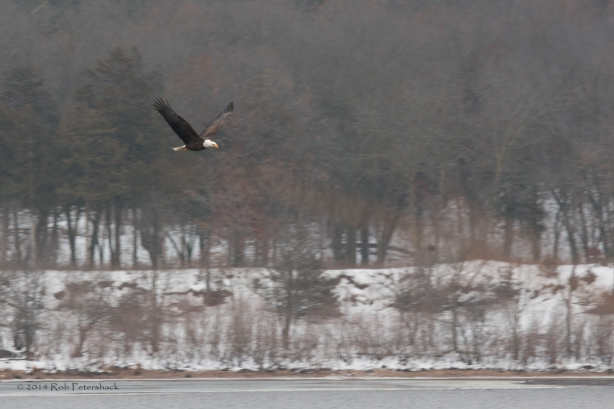 Bald Eagles - January 10, 2014 - 260-Edit