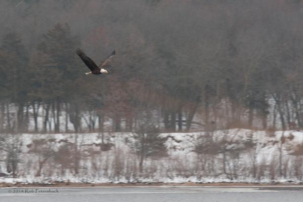 Bald Eagles - January 10, 2014 - 260-Edit