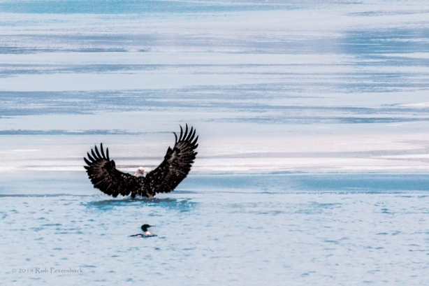Bald Eagles - January 10, 2014 -632a-Edit-2a