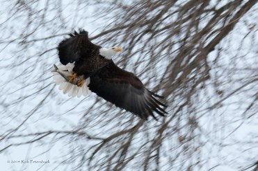 Bald Eagle and Prey