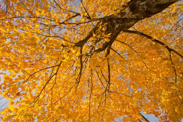 Fall Tree (Yellow) - October 16, 2010