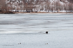 Performace of the Bald Eagles - 1