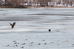 Performace of the Bald Eagles - 2