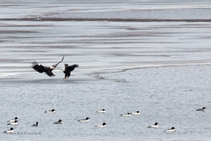 Performace of the Bald Eagles - 5