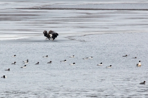 Performace of the Bald Eagles - 6