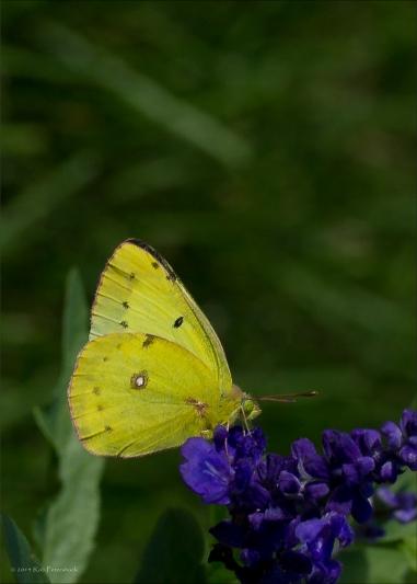 Yellow Sulphur on Verbena