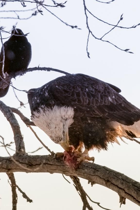 Bald Eagle Feeding - 43
