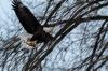 Bald Eagle and Fish