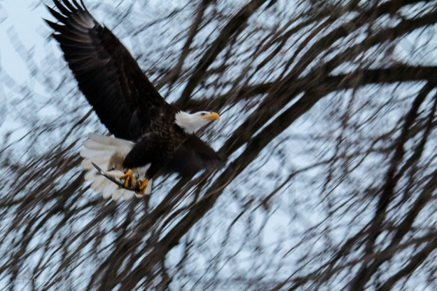 Bald Eagle Returns to Tree With Fish - January 10, 2014 - 43