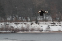 Bald Eagle Along Wisconsin River